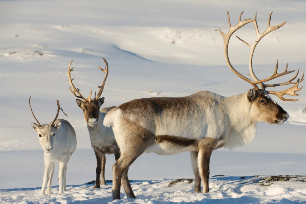 Reindeer are plentiful in Troms. You're all but guaranteed to come across one -- or more than one -- walking long the roadside or grazing nearby.