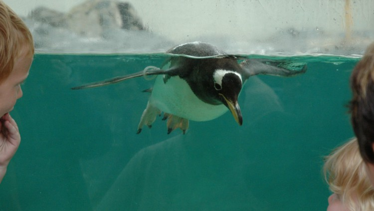Pingvin is the celebrity penguin at the Bergen aquarium.
