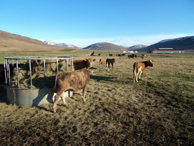 Happy cows graze with Erpsstaðir farm in the background.