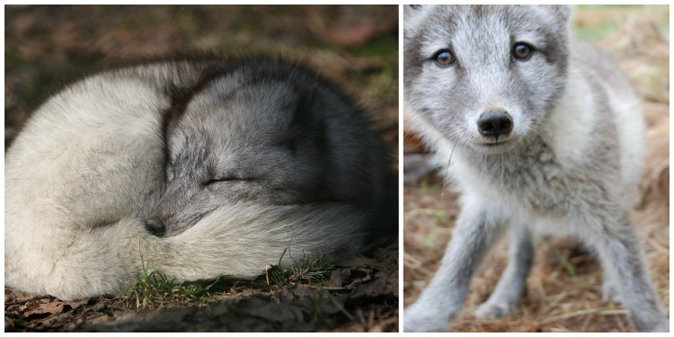 The arctic fox is the only domestic animal in Iceland, having been on the island before settlement and having thought to have survived through the last ice age, which saw the island covered in glaciers. [Photos: wikimedia Commons (left) and Arctic Fox Center of Iceland (right)]