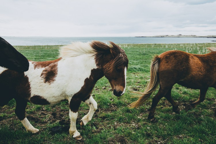 Daniel Brannan and his family travelled in Iceland in May and met a few horses still in their winter coats (winter can last a long time in the North Atlantic).