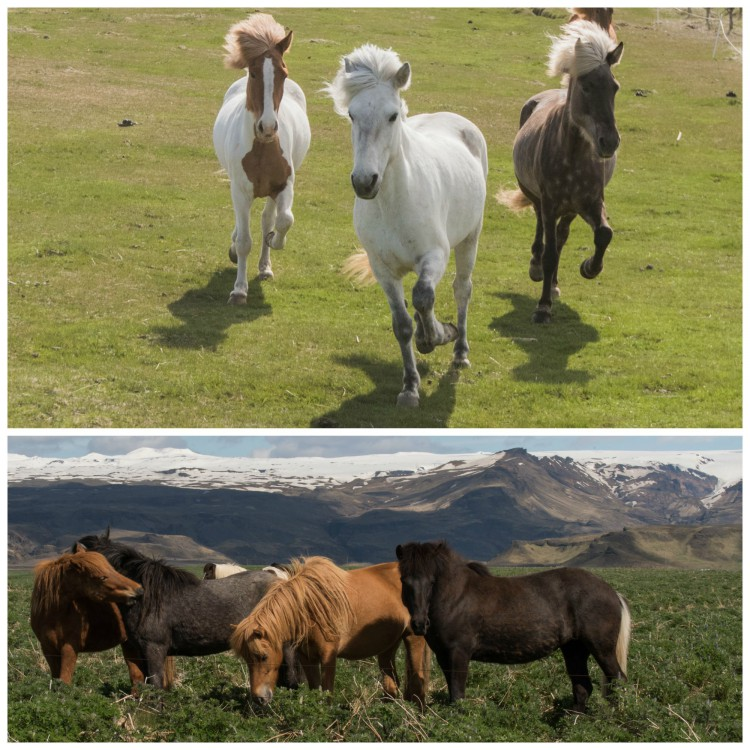 Icelandic horses often roam free to graze in the summer months and are rounded up come autumn. Photos by Bob Quinn.