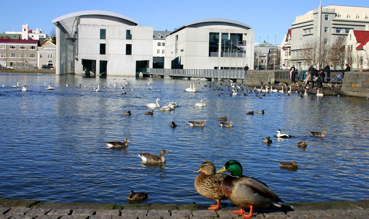 The gaggles of geese and teams of ducks residing in and around Reykjavík's central pond are always fun to watch.