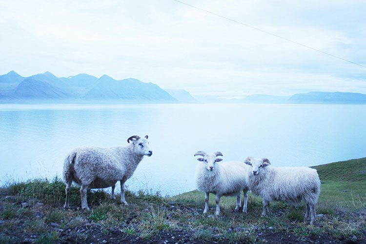 Icelandic sheep by a fjord