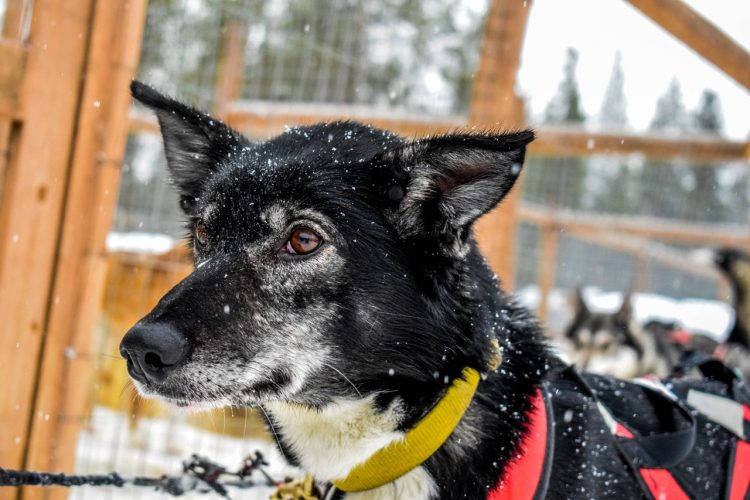 sled dog in Finnish Lapland