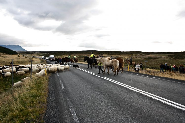 sheep roundup in Iceland, called réttir