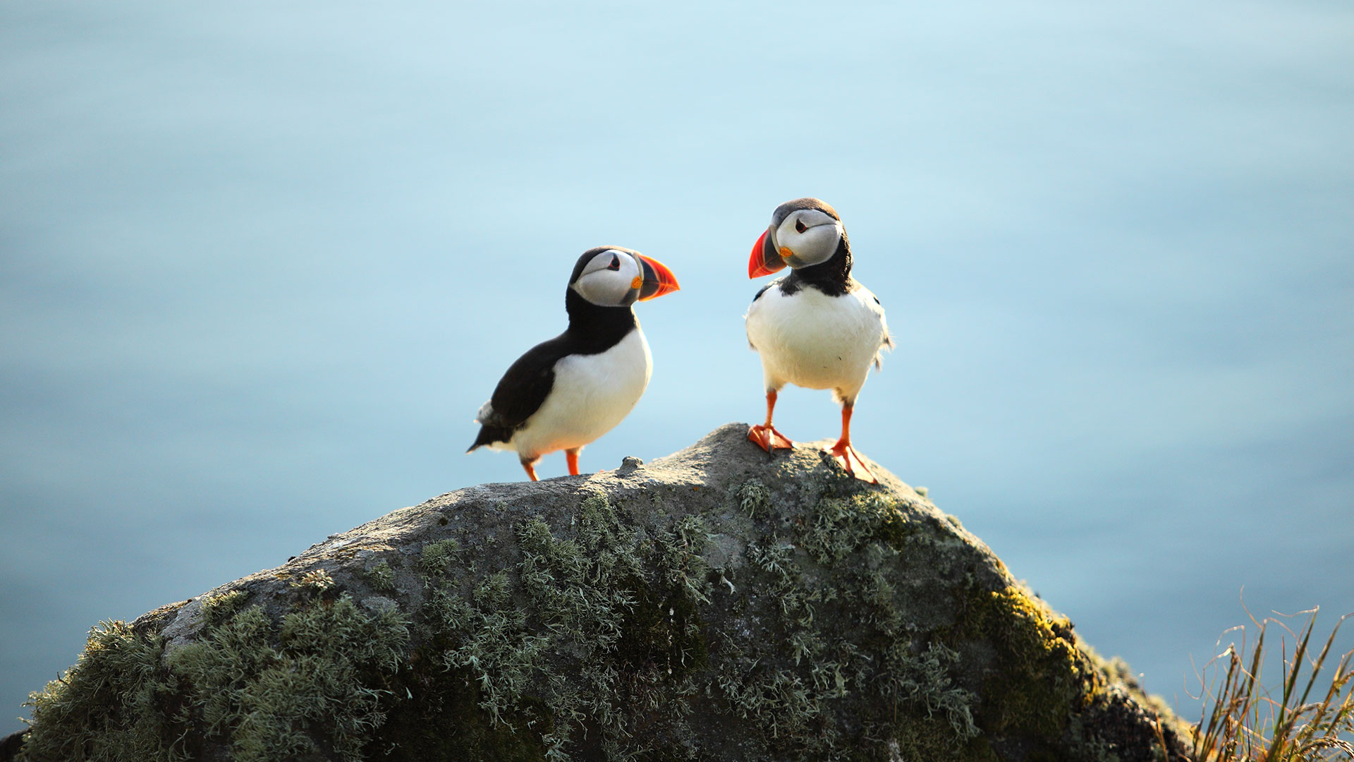 puffins by the coast