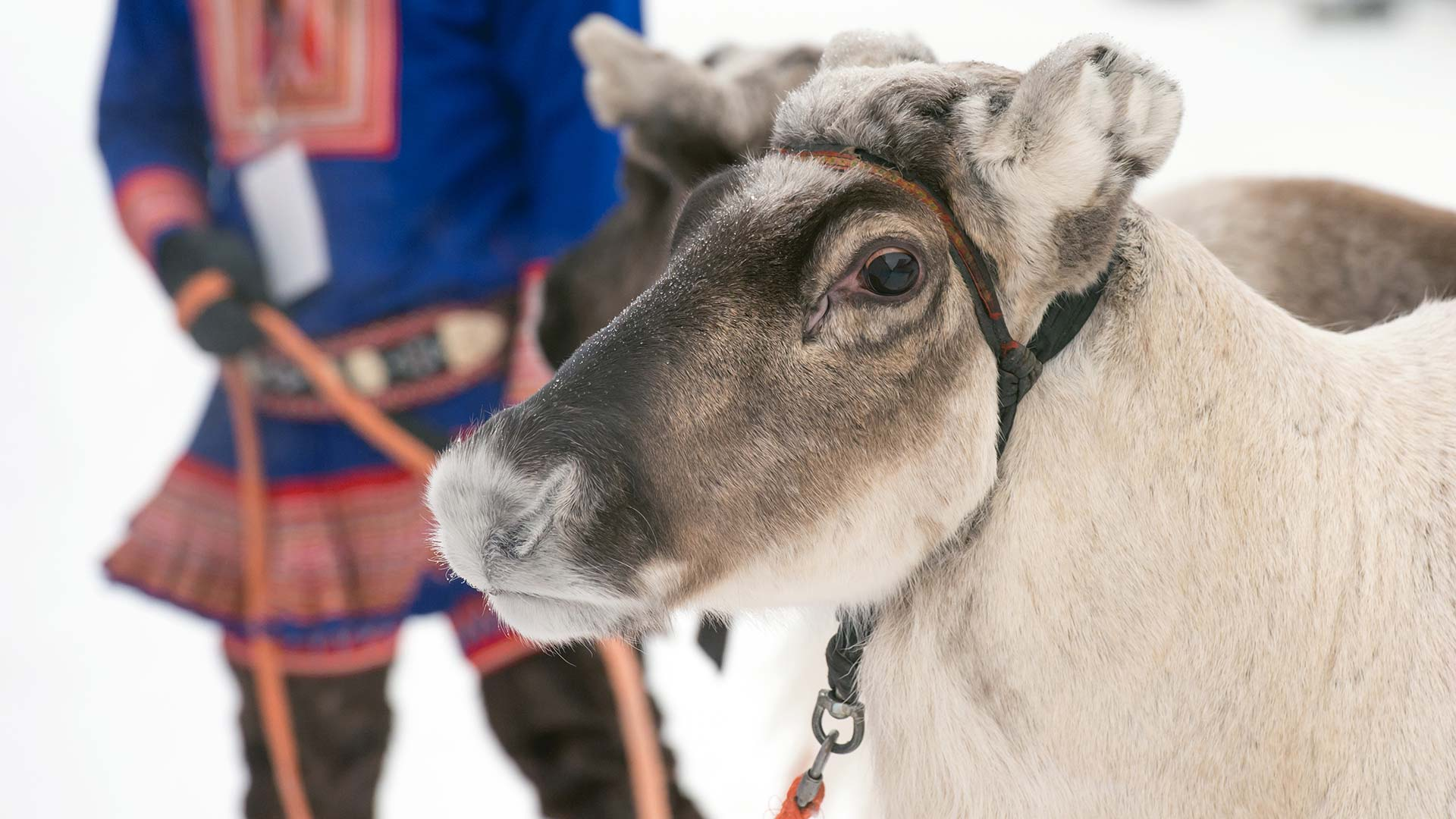 Sami reindeer in Norway