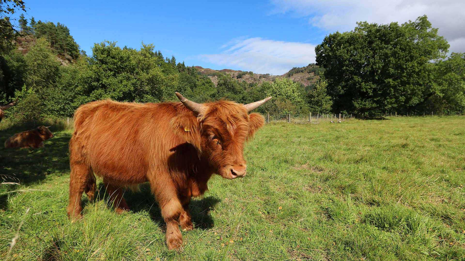 highland cow in field