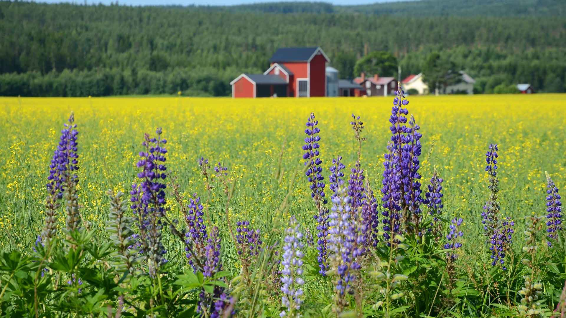 Countryside and flowers in Sweden